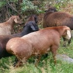 Гиссарские бараны – Таджикские породы овец