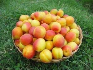 Apricots of Kanibadam
