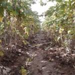 Сады малины в Таджикистане