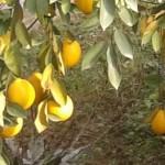 Лимон в Таджикистане