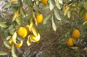 limon_tajikistan_00