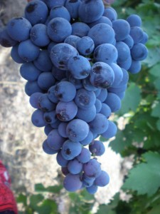 Виноград Зарифи