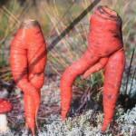 Как сеять морковь? Правила посадки !