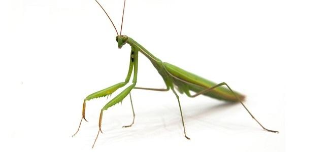 mantis-bilshegoloviy