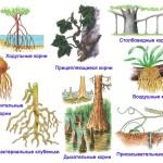 Видоизменение корная
