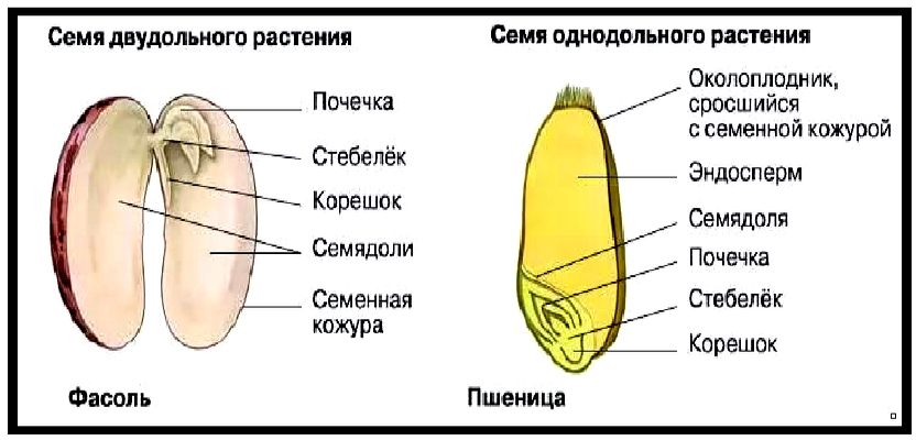 stroenie-semyan