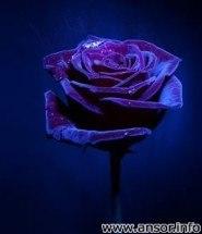 magik-rose